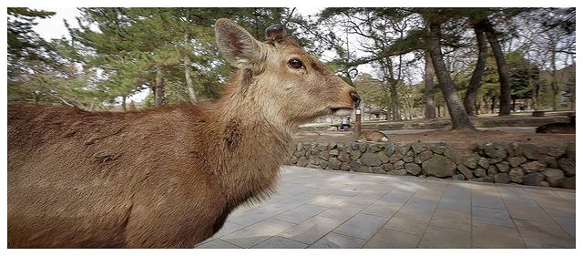 Sika Deer close to Todai-ji Temple, Nara - Japan by AmnesiArt