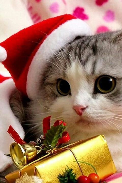 49 best christmas kitties images on pinterest christmas animals adorable animals wallpaper wallpaper desktop tapestry wallpapers wall decal spiritdancerdesigns Choice Image