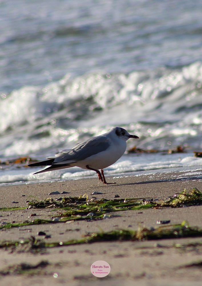 Stranden, beaach, Hundested, winter, Havets Sus, nature, naturephoto, naturephotography,  Trekanten, måge, seagull
