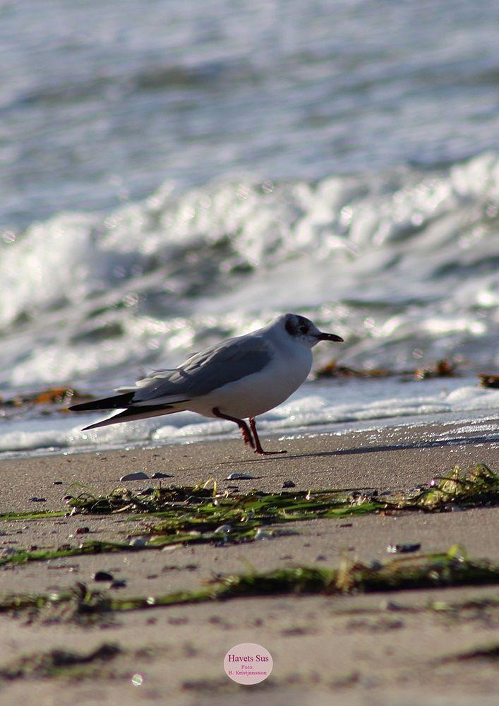 Stranden, beaach, Hundested, winter, Havets Sus, nature, naturephoto, naturephotography,  Trekanten, måge, seagull