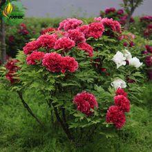 'Hot Fire' Red Piwonia Pomarszczony Nasiona Drzew, 5 Nasiona, profesjonalne Pack, big kompaktowy pachnące kwiaty kwitnące E3513(China (Mainland))