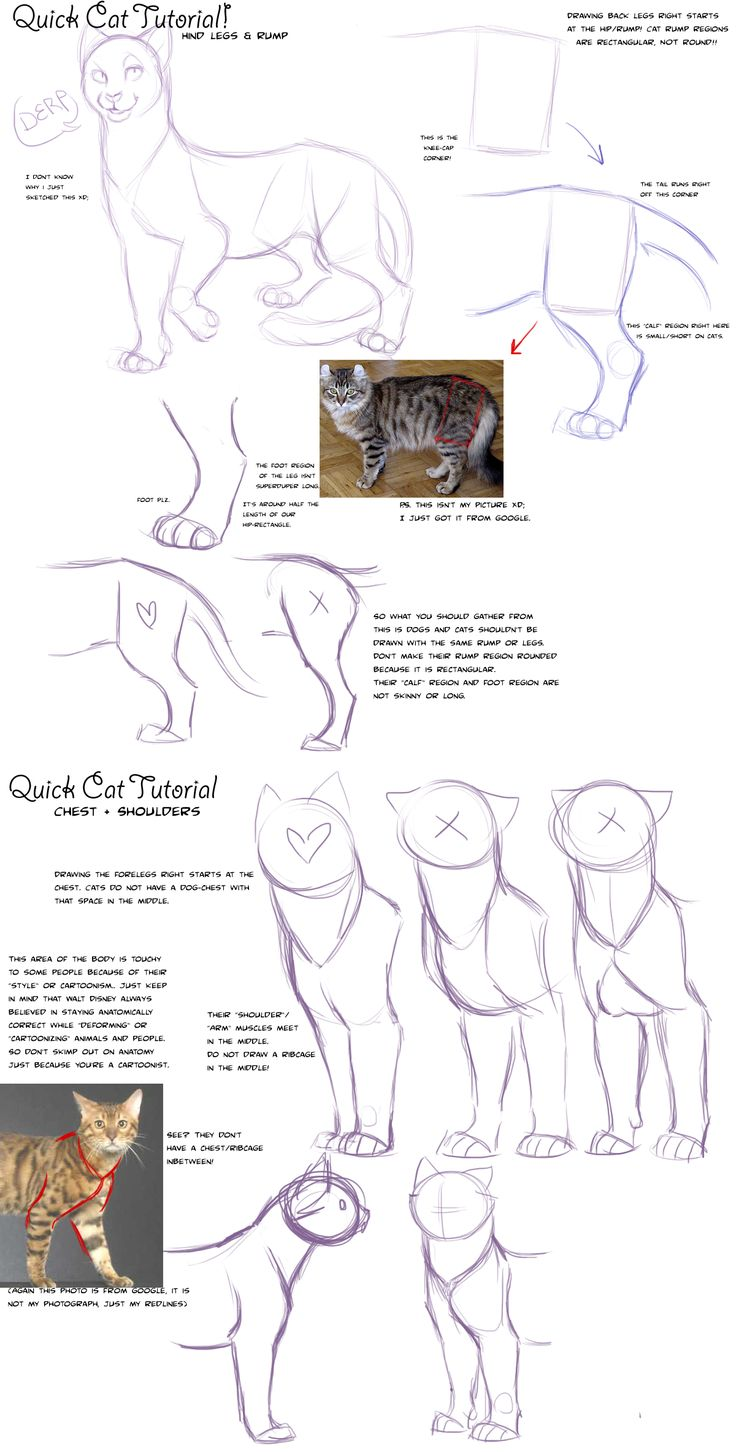 Quick Cat Anatomy Tutorial by AddictionHalfWay.deviantart.com on @deviantART