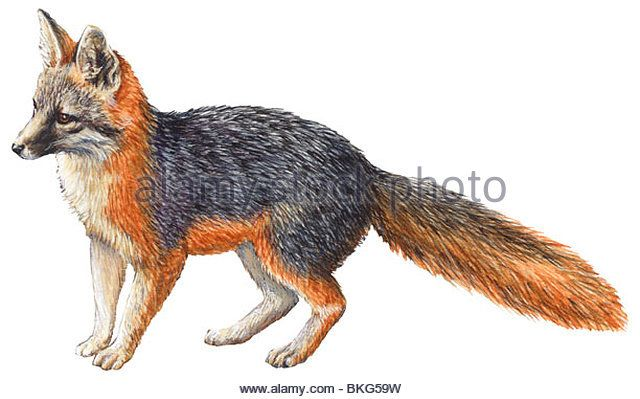 Illustrations Fox Stock Photos & Illustrations Fox Stock Images ...