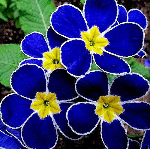 "Polyanthus is a primrose hybrid with dense clusters of flowers that bloom in spring and summer and are great companions for Bleeding Hearts, Hostas, Hellebores. They come in many bright colors and bicolors and make great bedding plants. Grow 6-12"" tall in part to full shade in moist soil. Zones 3-7 So pretty they don't look real."