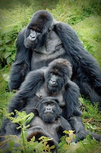 "Africa | ""Gorilla family"".  The Silverback Ubumwe overlooking his subjects in the Amahoro-group of mountain gorillas. Rwanda 