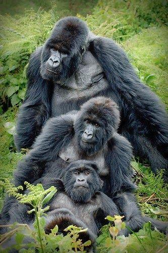 Gorilla family portrait Beautiful