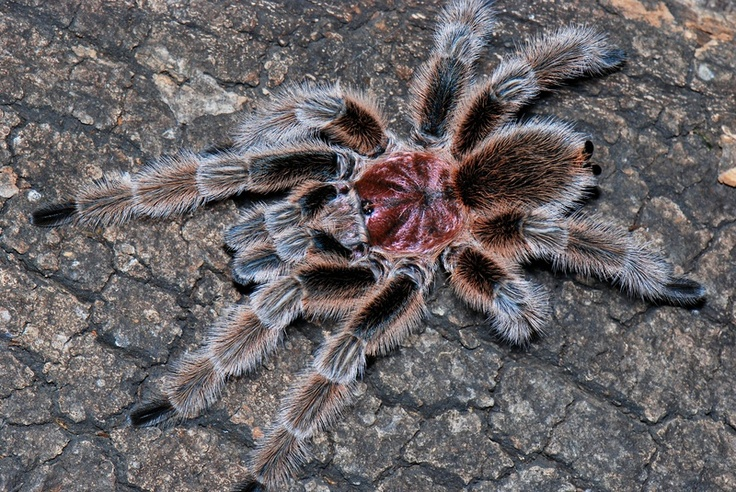 Best 13 Spiders - Species I keep images on Pinterest | Spider ...