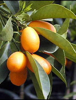 Kumquat. Cute little tender skinned snacks you can eat whole. Candied ...