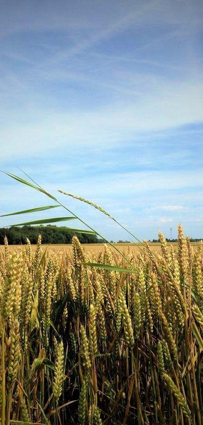 Wandelen door de tarwevelden van de Oise - Passie voor Frankrijk