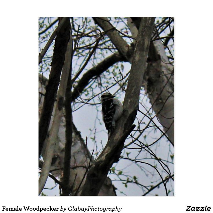 Female Woodpecker Postcard