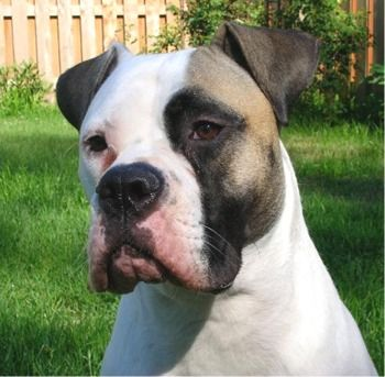 american bulldogs | American Bulldog Puppies Breeders Bulldogs