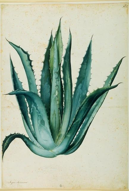 Gorgeous aloe illustration