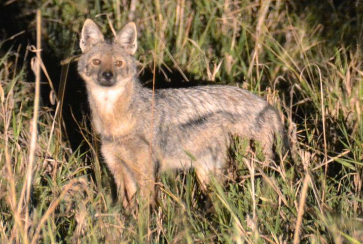 Side-striped jackal in Manyeleti, South Africa. #SidestripedJackal #SidestribetSjakal #Manyeleti #KhokaMoyaCamp #AlbatrosTravel #AlbatrosRejser #HenryRasmussen