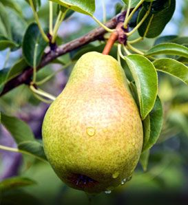 Name: Pears Description: **Pears are wonderful trees for your yard. They are sturdy and dependable and can live and bear fruit for as long as 75 years. **Some negative things include: (1) Pears have a brief, early bloom that can result in the flowers being killed in cold areas and can lead to inadequate pollination; …