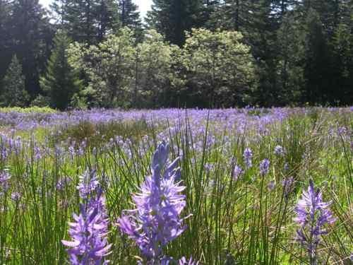 BLUE CAMAS (Camassia quamash) 100+ Seeds