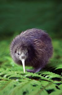Kiwi Bird -- the icon of NZ my new home. For those of you who don't know before man arrived in NZ  there were ONLY birds and one mammal a bat!!! Then this little guy thrived , sadly he is now protected due to dropping numbers. I was surprised to learn some species are as large as chickens !!! I always thought they were tiny.