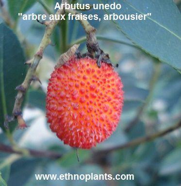 arbutus unedo graines d'arbousier à cultiver: https://www.ethnoplants.com/fr/graines-plantes-a-fruits-fruitiers/267-arbutus-unedo-arbousier-arbre-fraise-graines.html
