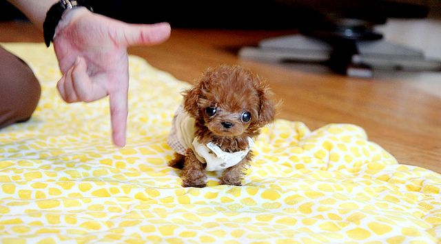 Micro+Tiny+Teacup+Poodles | Recent Photos The Commons Getty Collection Galleries World Map App ...