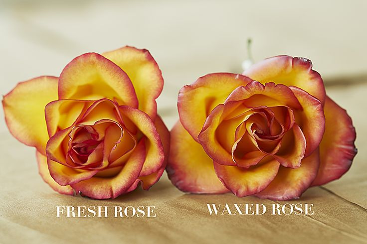 Wax rose vs. fresh rose - You can make your beautiful fresh-cut roses last longer than you ever imagined by dipping the open blooms in melted wax!