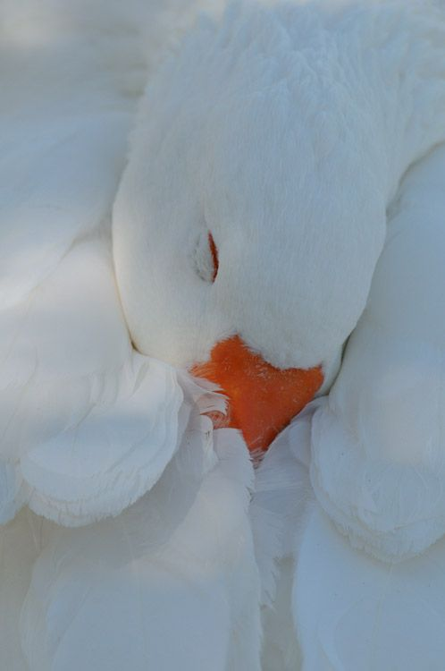 This is a beautiful white goose. The white with orange beak is this breeds signature color. It's a snow goose, sometimes confused with a Baldface goose.
