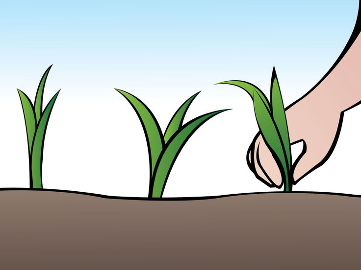 How to Grow Green Onions from seeds -- via wikiHow.com