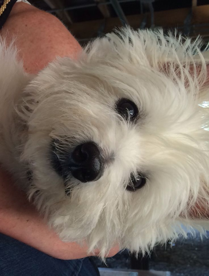 My beautiful westie