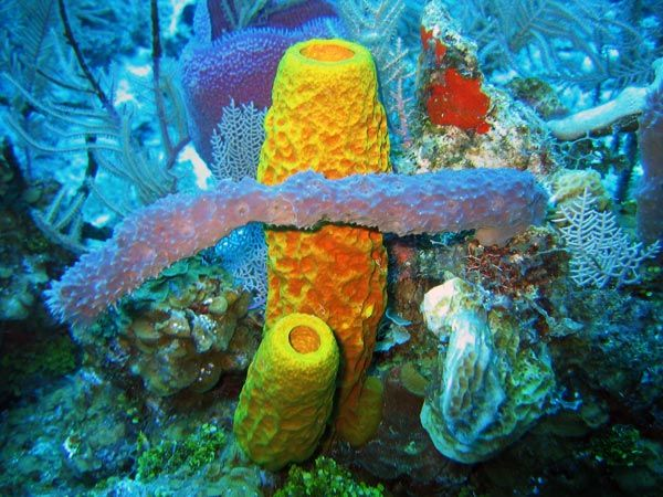 Cayman Islands Twilight Zone 2007: Sponge biodiversity and morphotypes at the lip of our wall site in 60 ft of water.