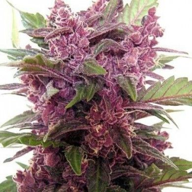 Purple Haze-A trendy designer strain that will supply you with an energetic buzz. A soaring, rushy, euphoric effect with a mellow comedown. Plus free worldwide shipping, stealth packaging, & germination guarantee. Oh…and...step-by-step growing instructions. I LOVE Growing Marijuana!!!