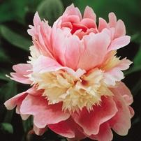 Paeony Lactiflora Sarah Bernhardt