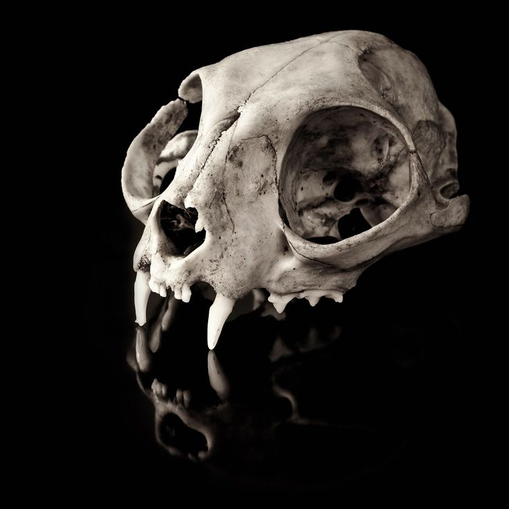 skull cat - Busca de Google