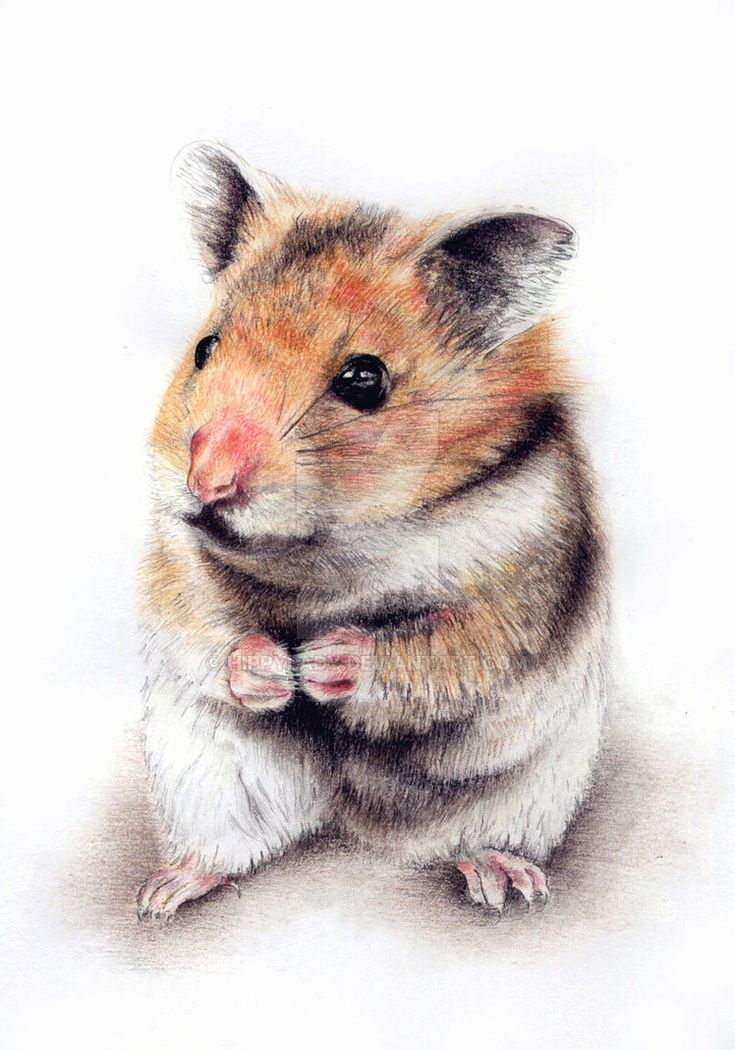 hamster drawing google search