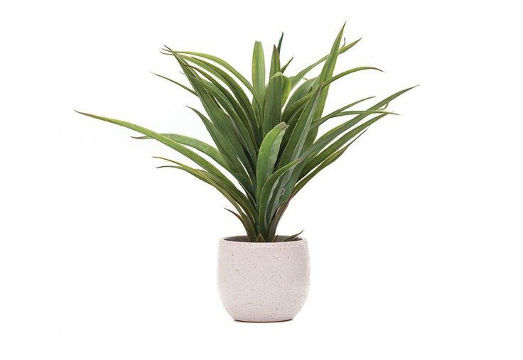 Gift Idea - Yucca tub pot plant, under $70   Super A-Mart