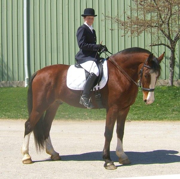 I think this guy might be big enough for me...Saddlebred ...