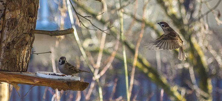 Swallow landing on feeder.