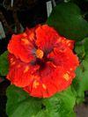 Tahitian Hibiscus Tahitian Pele