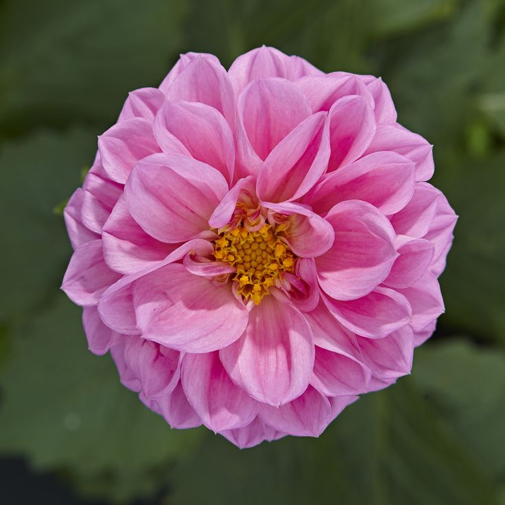 Die Dahlie 'Lubega® Power Rose' - zarte rosa Blütenblätter für Deinen Sommergarten. Ab geht's zu den anderen Farben!