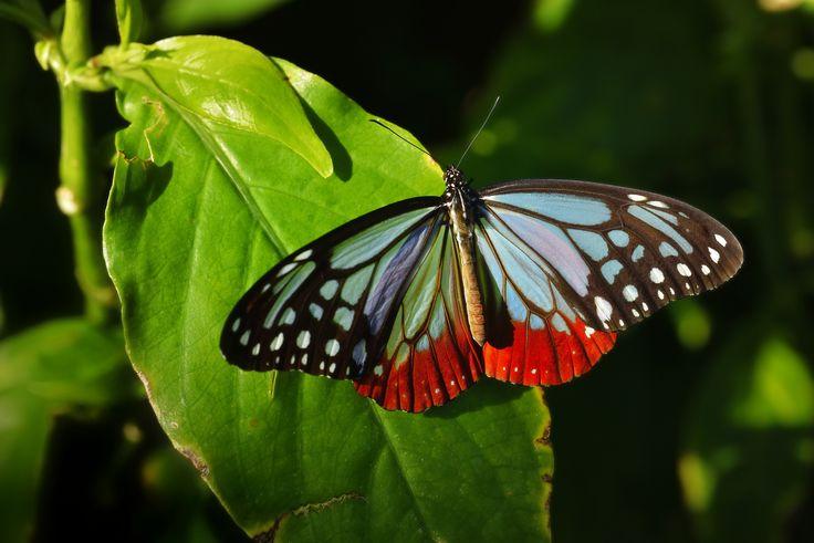 https://flic.kr/p/iVW9Rj | Chestnut Tiger アサギマダラ | 伊丹市昆虫館にて撮影。  渡り蝶として有名なアサギマダラ。 蝶の仲間で渡りを行うのは本種と北アメリカ大陸のオオカバマダラの2種のみ。  烏原でも秋によく見かけますが、こんなにピカピカの翅を見たのは初めてです。  A photograph is taken in Itami City Museum of Insects. AF-S VR Micro-Nikkor 105mm f/2.8G IF-ED ( f/8 1/640sec ISO640 )