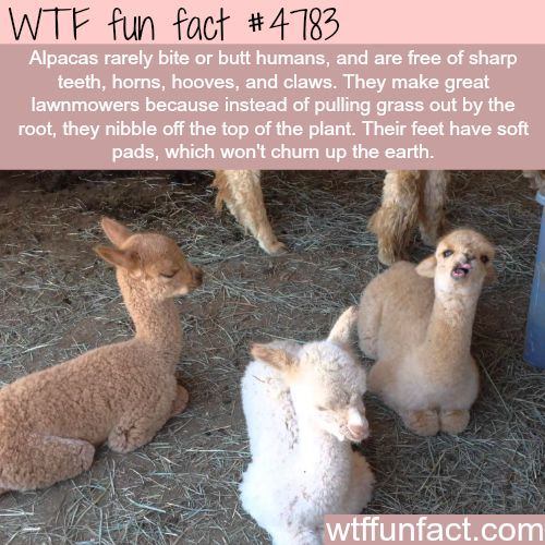 Fact: Alpacas - World's Cutest, Friendliest lawnmowers! (Best Fur for sweaters!)  ~WTF awesome & fun facts!