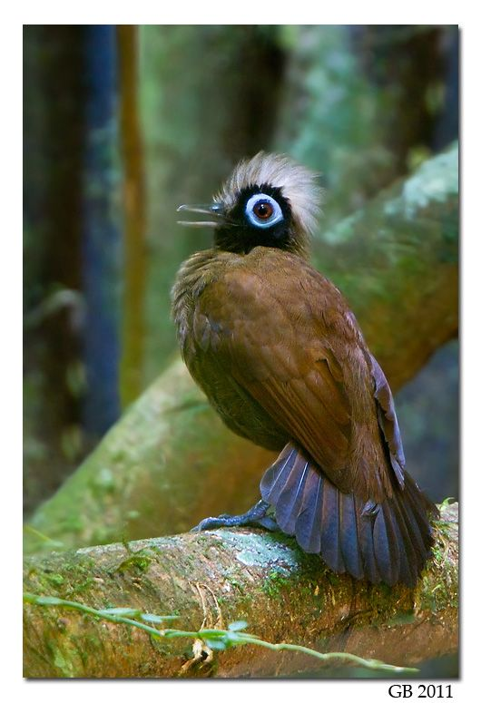 The Hairy-crested Antbird (Rhegmatorhina melanosticta) is a species of bird in the Thamnophilidae family. It is found in Bolivia, Brazil, Colombia, Ecuador, and Peru. Its natural habitat is subtropical or tropical moist lowland forests.
