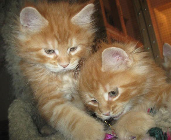 I found Maine Coon Kittens For Sale....definately our next cat will be a big red one of these.