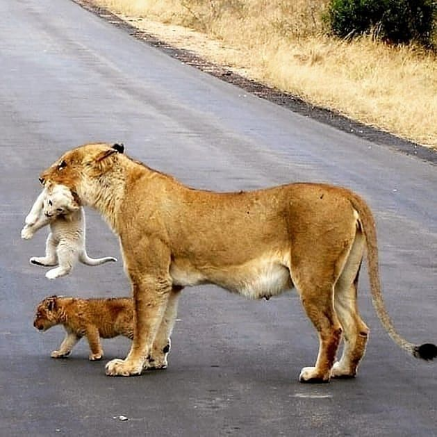 Who Has The Best Caption Follow Us Lions The Kings Like For