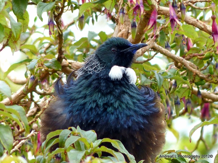 Tui... Tree fuchsia (Fuchsia excorticata) flowers are a much sought-after food source for a number of native bird species, in particular Bellbirds, Tui and Silver-eyes. The Tui is a protected bird in NZ AndreaEL Photography NZ