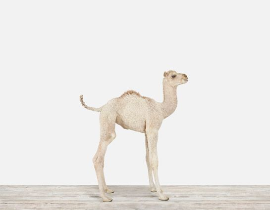 We've got the baby monkey print hanging in a hallway, but the camel is pretty damn sweet looking.