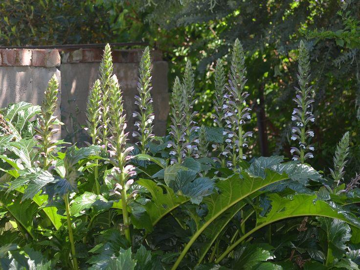 "Acanthus Mollis ""Oyster Plant"" - Meredith Nursery"