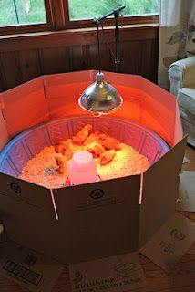 brooder, simple setup with a kiddie pool and cardboard gating. The cardboard would have been nice to know about last year, its no fun to walk in on a bathroom full of escaped convicts--i mean, chicks