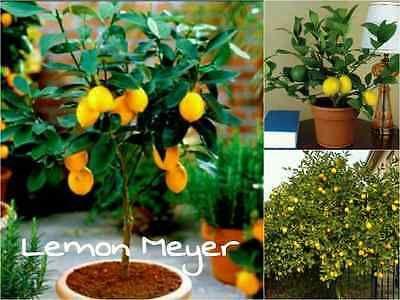 10-Lemon-Meyer-Tree-Seeds-Citrus-x-meyeri-Edible-Citrus-Drought-Resistant
