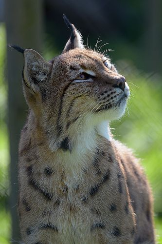 "( Eurasian Lynx) * * "" Human faces becomes terrible things dat wants more den der iz, when yoo run across dem ands actually finds yerself alive."""