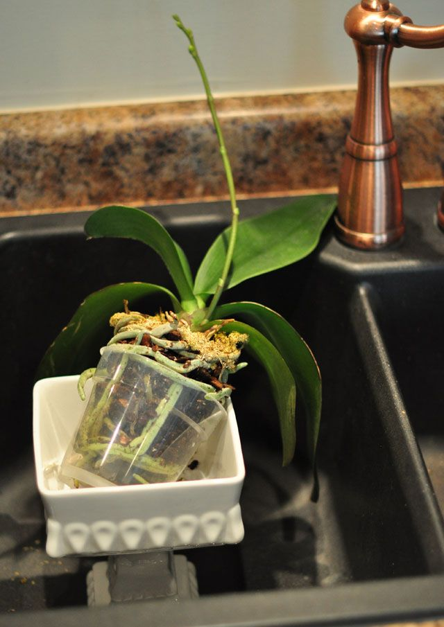 how to replant repot and regrow orchids it seems she uses moss to moisten them will have to. Black Bedroom Furniture Sets. Home Design Ideas