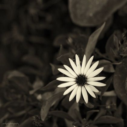 flower black and white beautiful