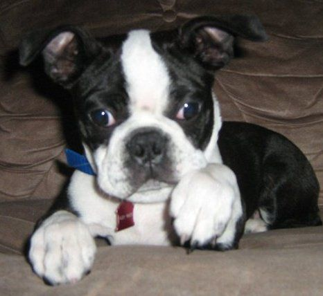 Harvey when he was a pup